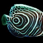 EmperorAngelFish (Large)