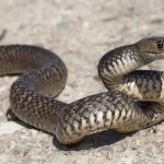 EasternBrownSnake (Large)