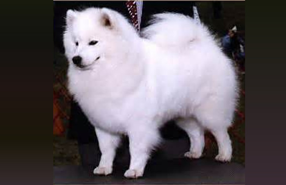 American Eskimo Dog Scientific Name