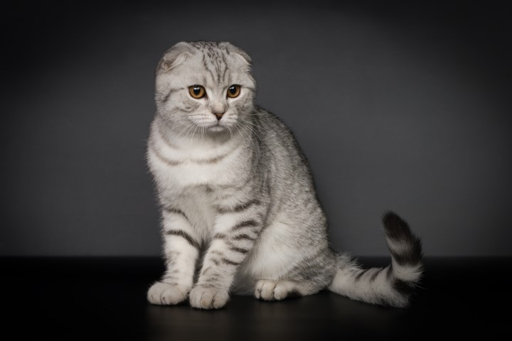 how to get a scottish fold