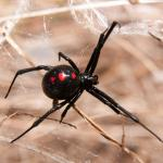 BlackWidow (Large)